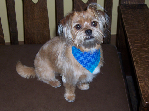 Pictures of Shorkie Haircuts http://www.greenwoodpuppies.com/shorkie/testimonials/obee/obee.htm